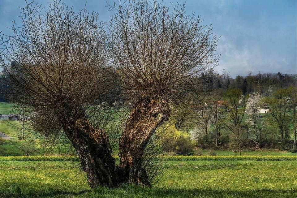 牧草地, Pollarded 柳, シュトゥルンク, ログイン, 木, 自然, 柳バスケット, 植物, 枝