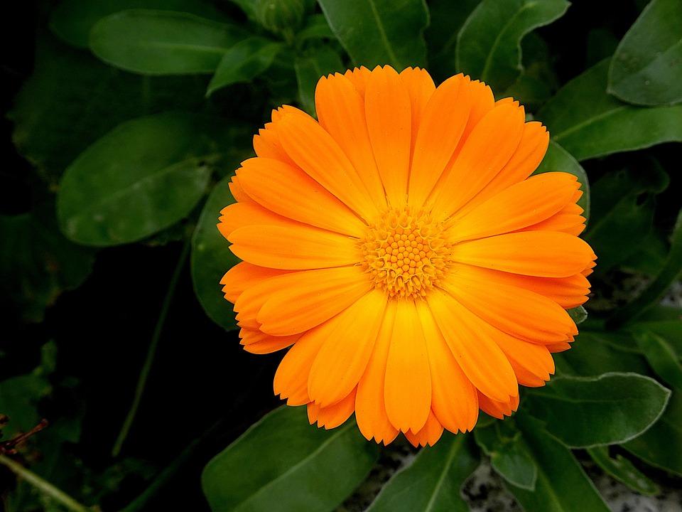 花, 心配, 植物, オレンジ色, 光, 美しい, 花びら, 春, カラフルです, 庭, ガーデニング, 園芸