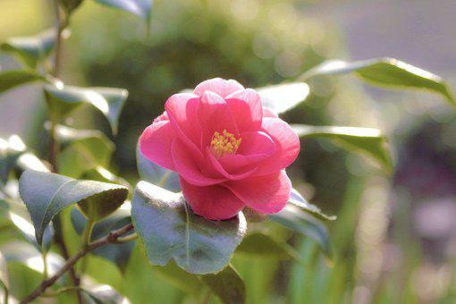 400 Free Camellia Bloom Images Pixabay