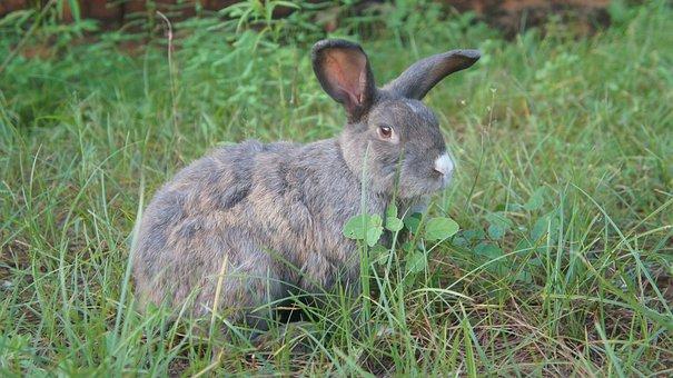 Rabbit, Mammal, Animal, Nature, Grass