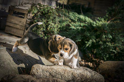 socializing beagles