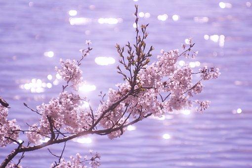 Sakura, Cherry, Spring, Flowering, Pink