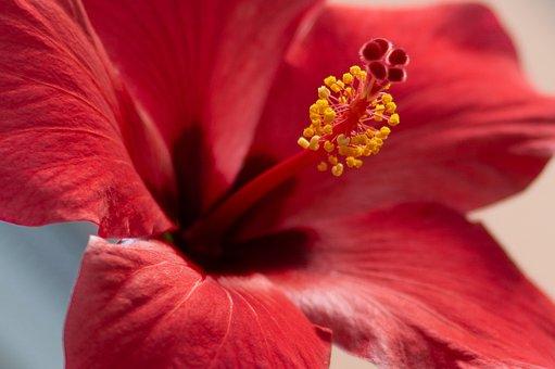 2 000 Free Hibiscus Flower Hibiscus Images Pixabay