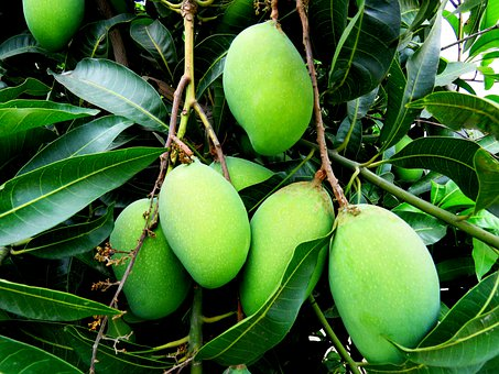 Mangoes, Tree, Green, Healthy