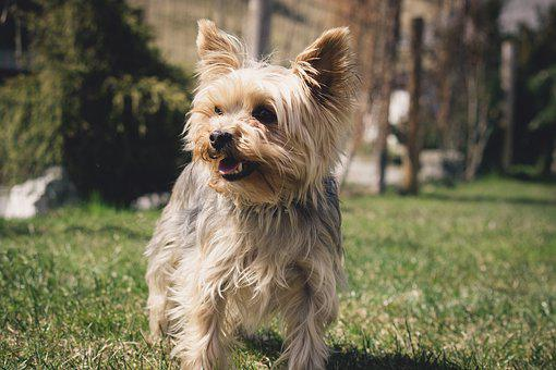 Dog, Small, Yorkie, Yorkshire Terrier