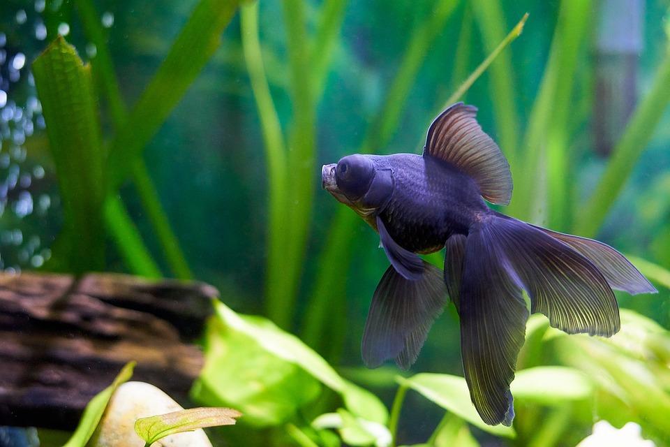 Goldfish, Vis, Aquarium, Dieren, Huisdieren, Staart