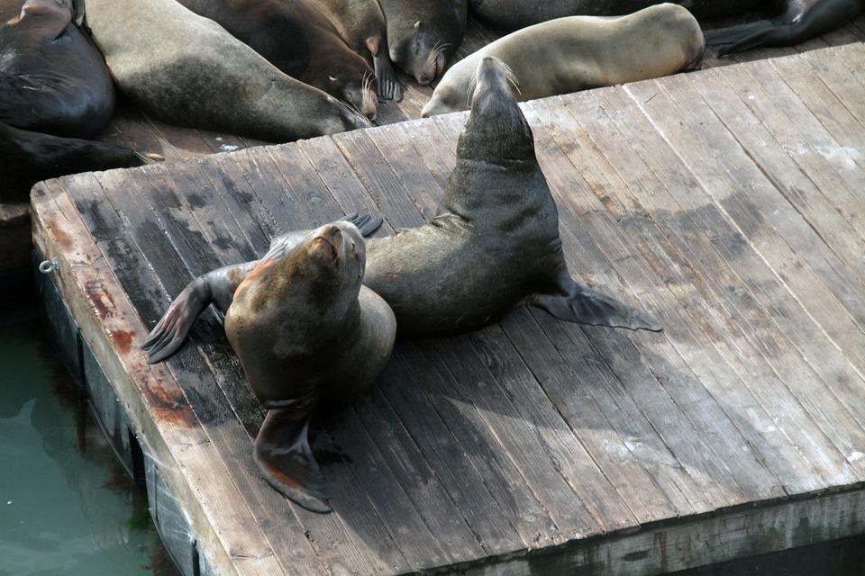 海のライオン, 動物, シール, 哺乳動物, 自然, ピア 39, サンフランシスコ, グレーの海, 灰色の海