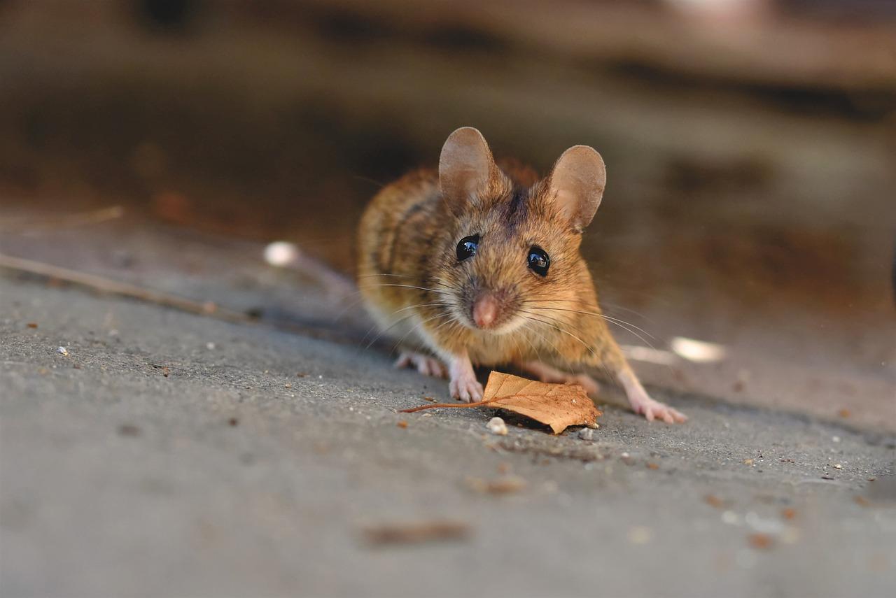 House Mouse Long-Tailed - Free photo on Pixabay
