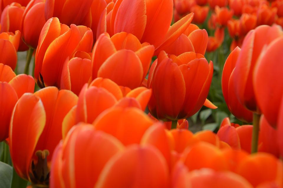 tulipanes y su significado