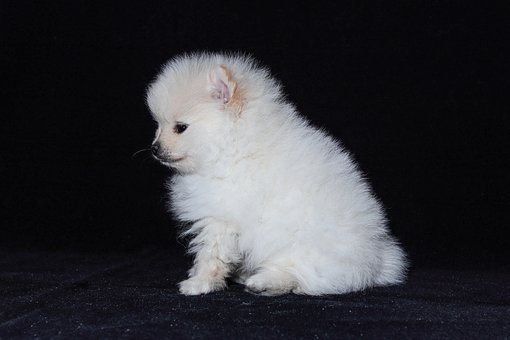 Dog, Pomeranian, Baby, White, Animals
