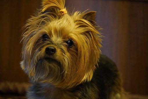 Yorkshire, Dog, Terrier, Pet, Small