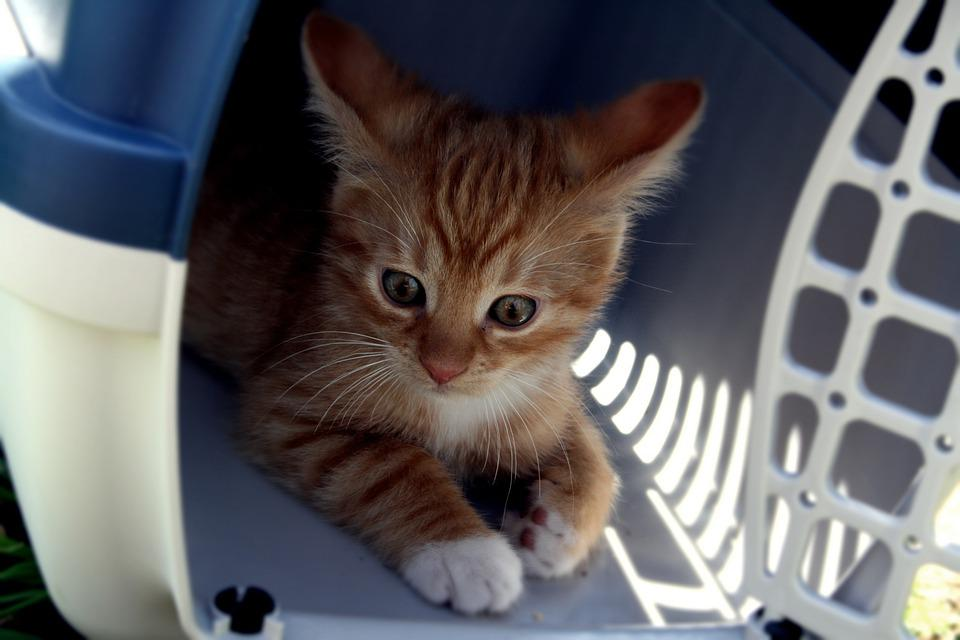 Cat, Transport Box, Kitten, Cat Baby, Orange, Striped