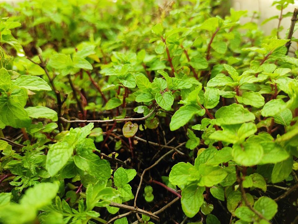 Pudina, Plant, Herb, Home Gardening, Planting