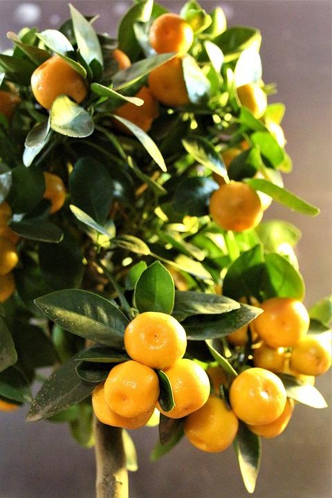Calamondino, Cítricos, Mitis, Árbol, Frutas