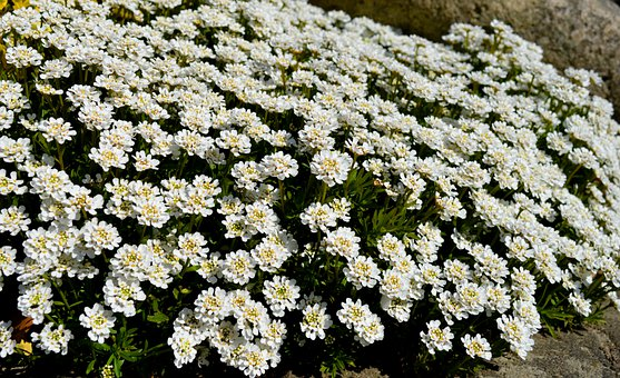 Candytuft, Ground Cover, Flowers, White