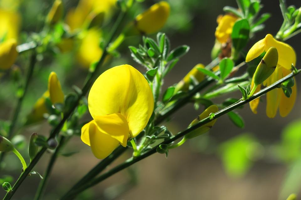 Ginestra, Ginestre In Fiore, Arbusto Di Ginestra
