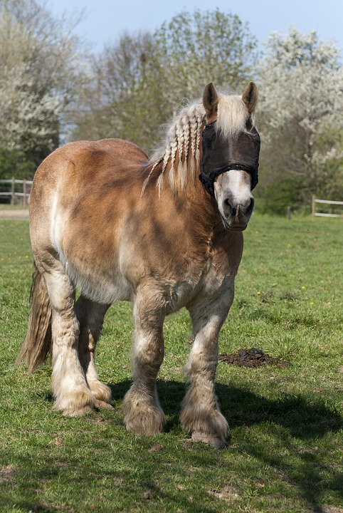 Cheval De Ferme, Cheval De Trait, Cheval, Stallion
