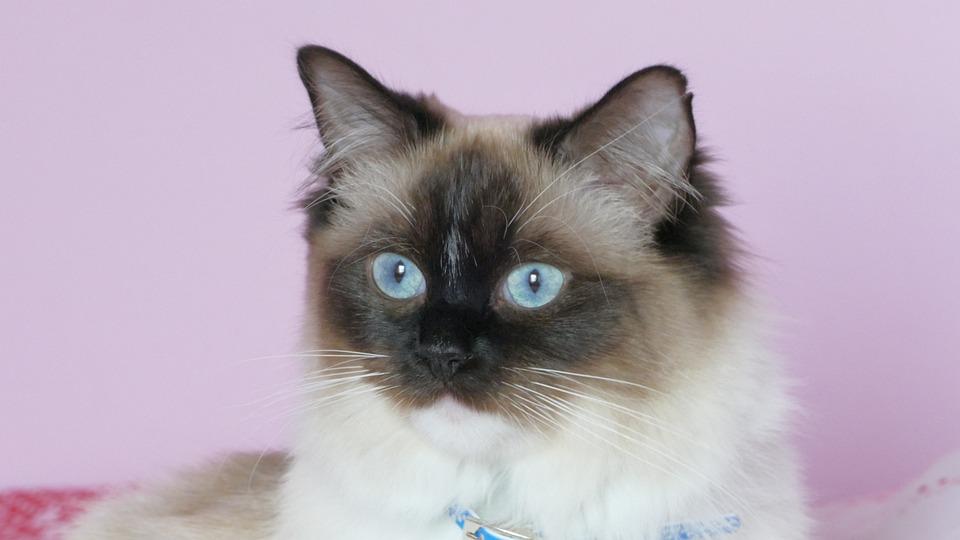 Kucing Keturunan Asli Ragdoll Foto Gratis Di Pixabay