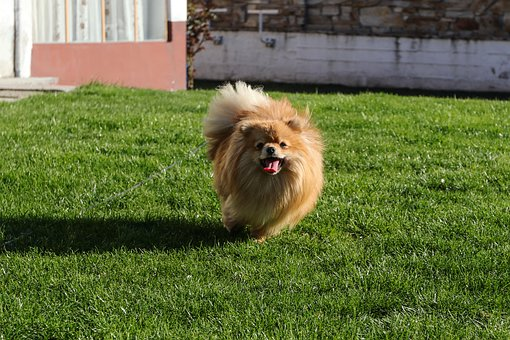 Dog, Pomeranian, Animals, Sweet, Leather
