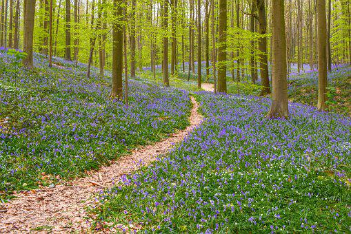 Nature, Forest, Hallerbos, Hyacinth