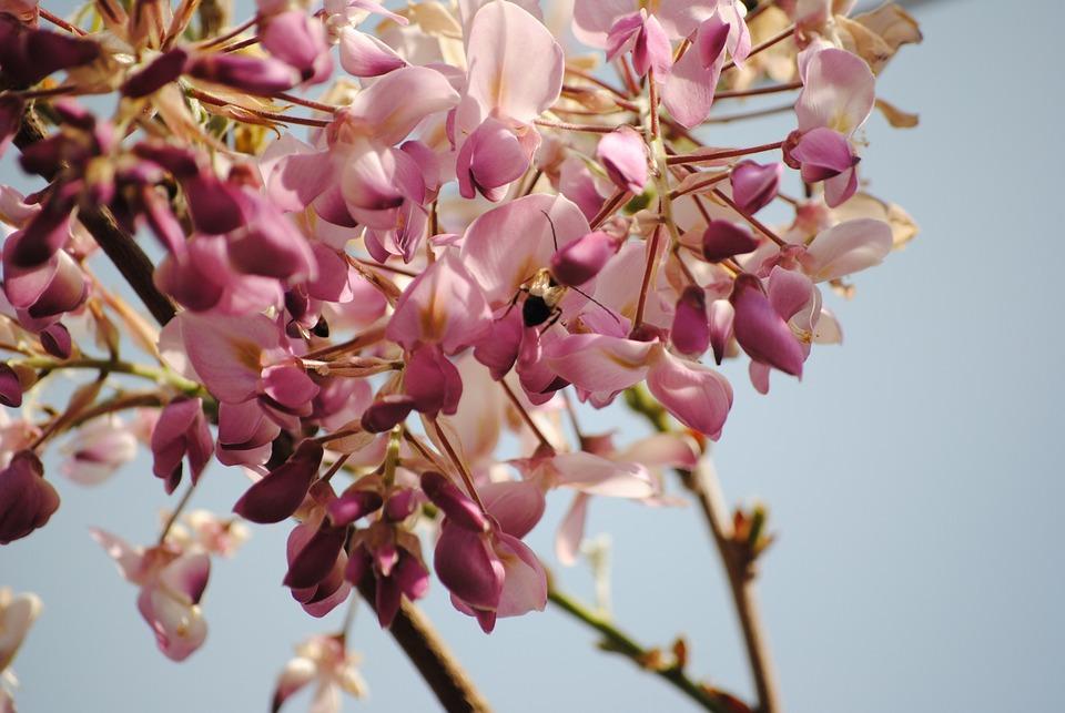 Nature, Spring, Wisteria
