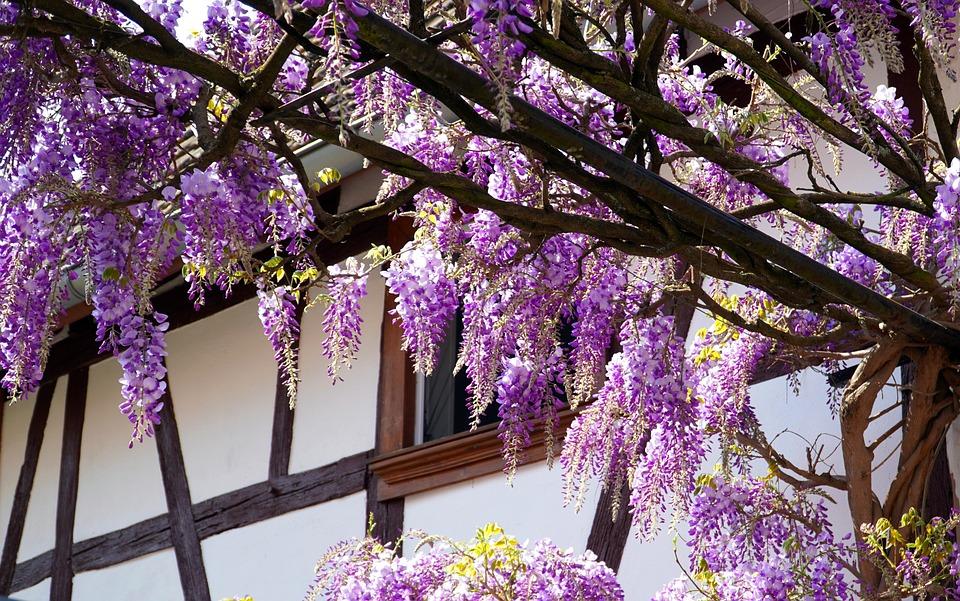 Wisteria, Flower, Blue Rain, Blossom, Bloom, Spring