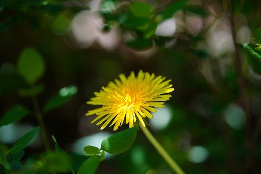 Voikukka, Keltainen, Kasvi, Kukka