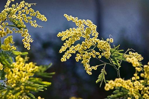 ミモザ, 花, 春, 咲く, 黄色の花, ミモザの花, 小さな花