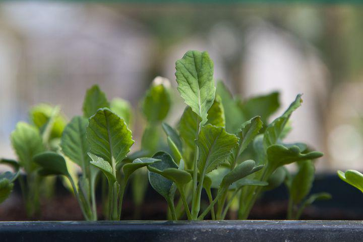 Cauliflower, Seedling, Gardening