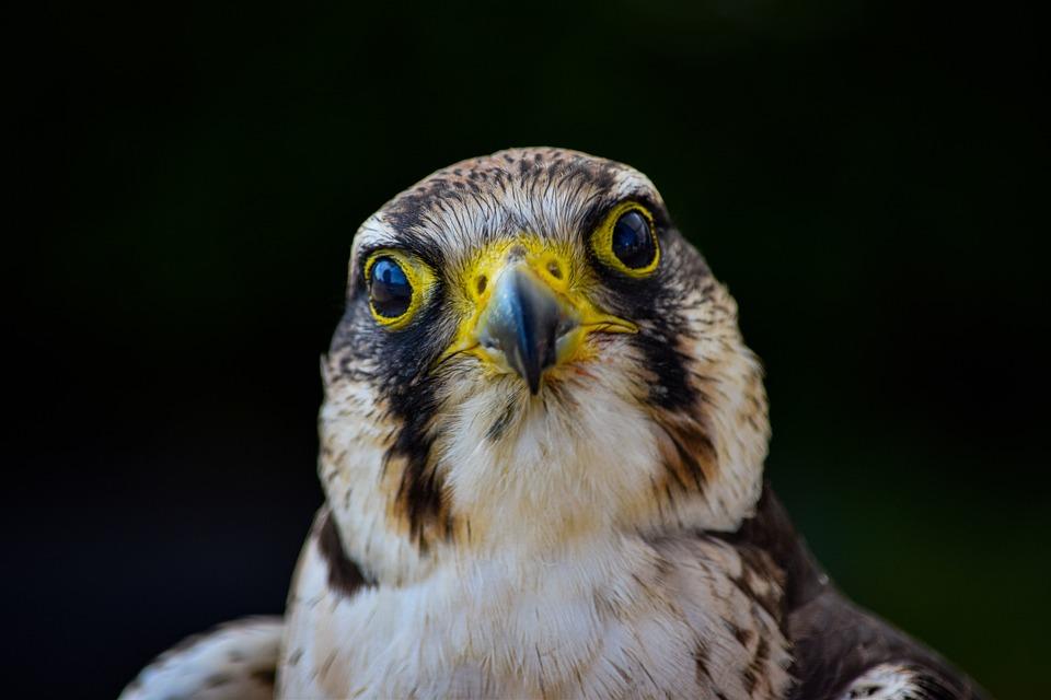 鳥, ケストレル, ファルコン, 鷹, 動物, 自然, 野生動物, 野生, 風景, 羽, プレデター
