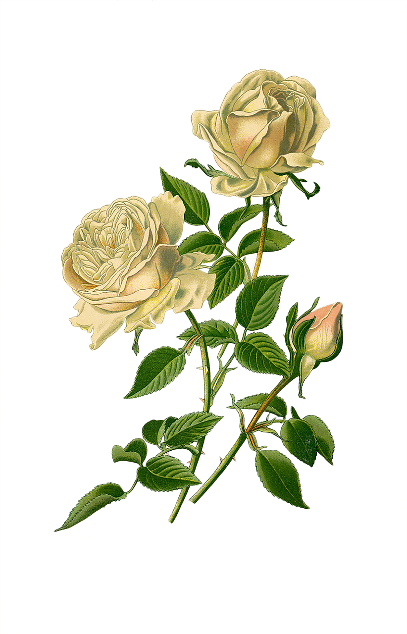 vintage roses white free image on pixabay https creativecommons org licenses publicdomain