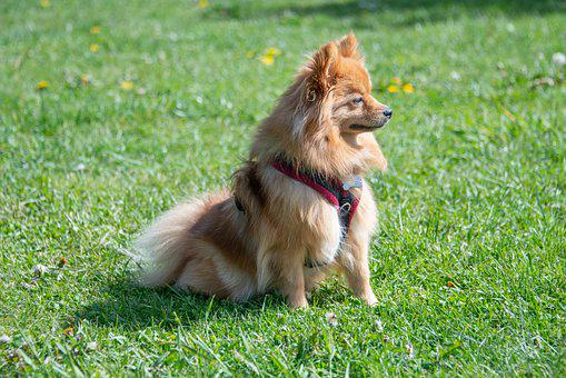 Pomeranian, Dog, Small, Orange, Grass