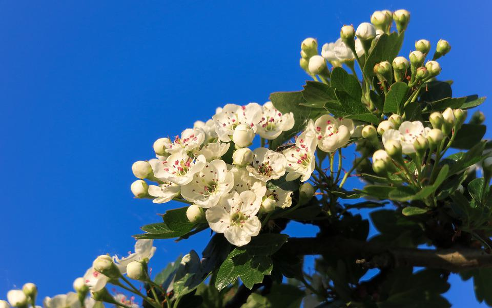 Боярышник, Цветок Боярышника, Цветы, Белый, Небо, Синий