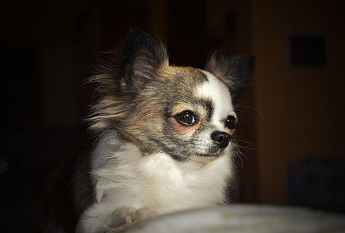 Chihuahua, Dog, Love, Puppy, Chiwawa