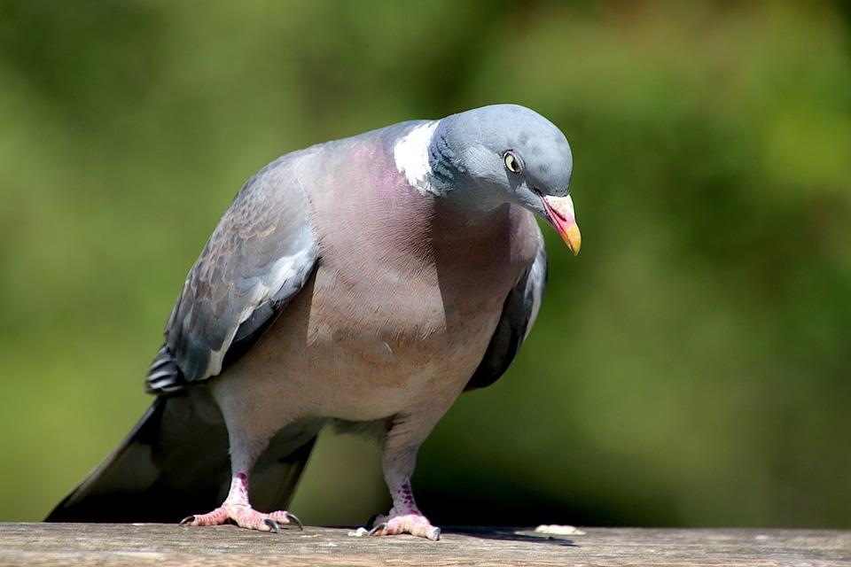 Pigeon, Birds, Animals, Gray Color, Paris, France