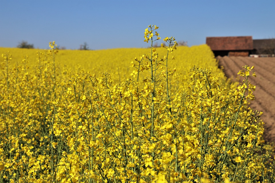 Yellow, Field, Rapeseed, Cottage, Orka, Increases