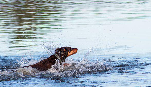 Doberman, Dog In Water, Dog, Dog Playing