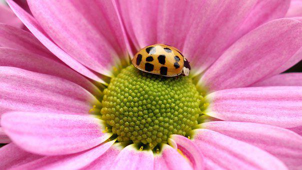 Flower, Gerbera, Ladybug, Nature