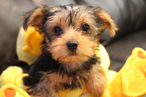 Yorkie, Pet, Cute, Dog, Animals, Sweet