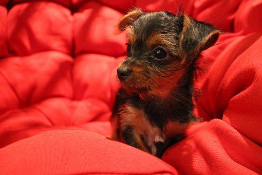 Yorkie, Pet, Cute, Dog, Animals, Sweet