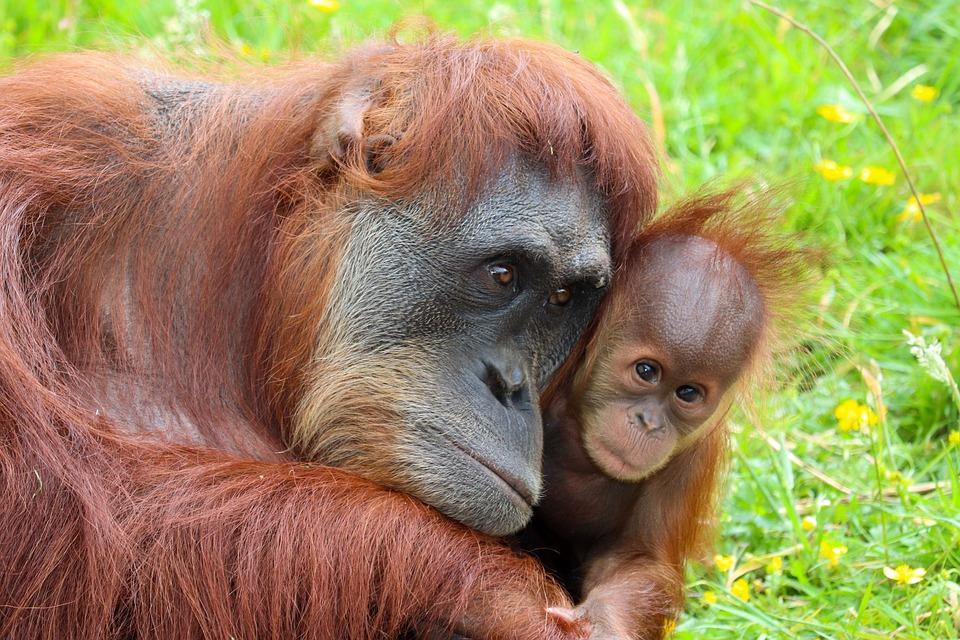 Zoo, Roussir, Orang Outan, Primate, Singe, Des Animaux