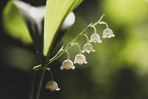 Lily Of The Valley, White, Green, Light