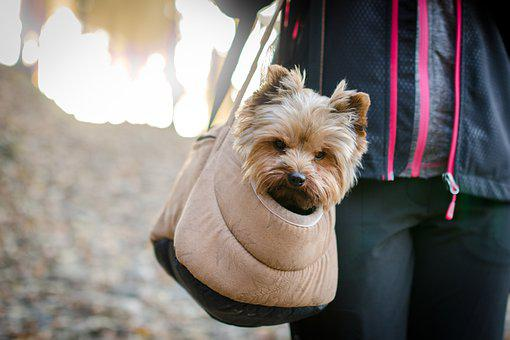 Dog, Yorkshire Terrier, Pet, Animal