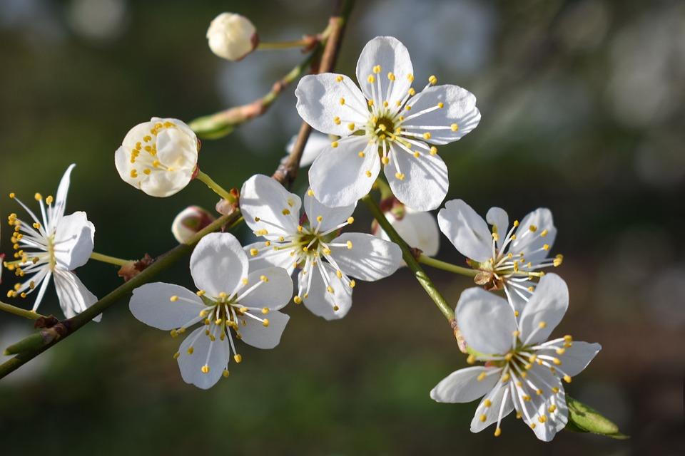 Bloom, Cherry Plum, Stato D'Animo, Bella, Selvaggio