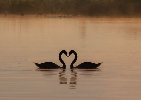 Swans On A Misty Lake, Heart, Lovers