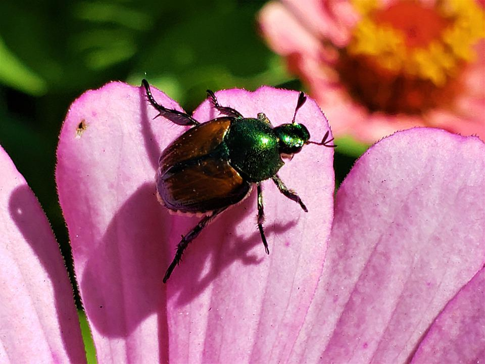 Beetle, Japanese, Colorful, Destructive, Insects, Bug