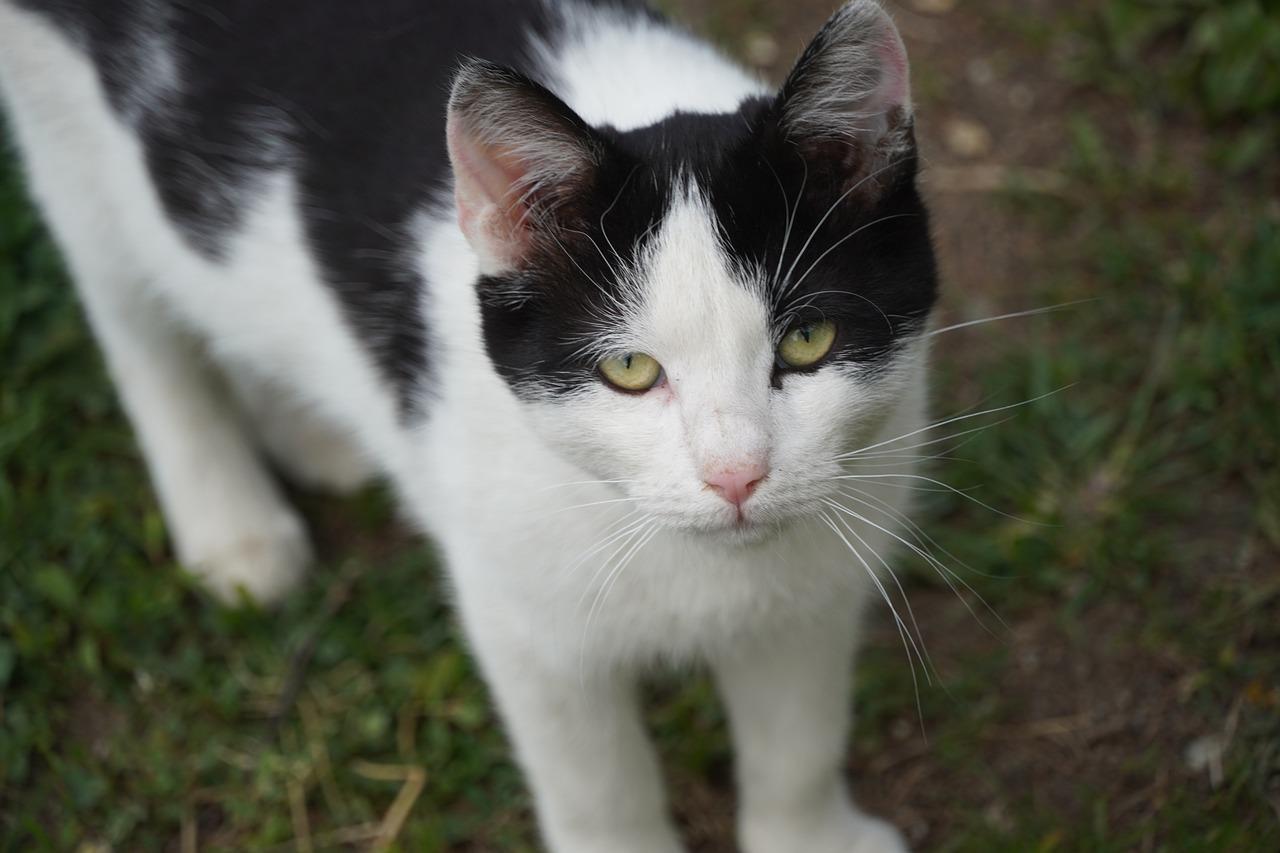 Black Cat White Pet Free Photo On Pixabay