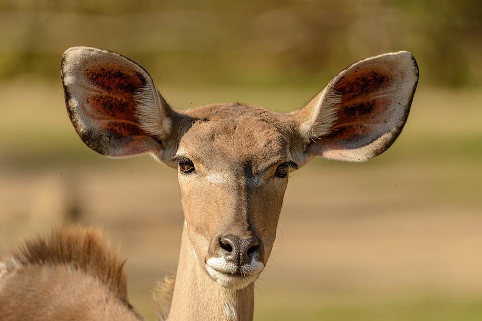 L'Antilope, Portrait, Animal, Mammifère, Tête, Ouïe