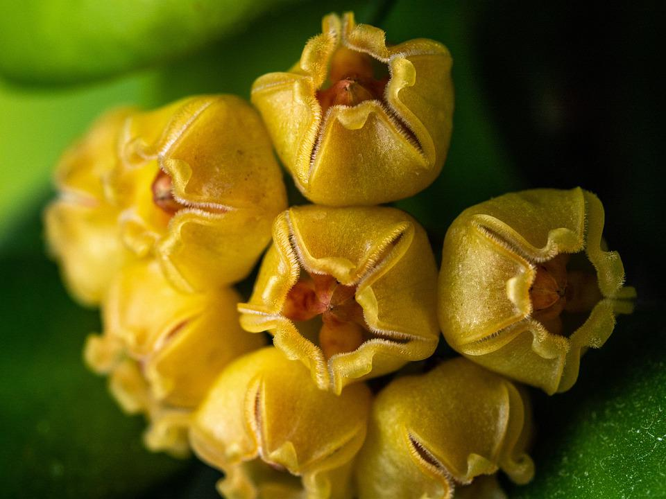 Hoya, Flower, A Whole, Foliage, Yellow, Green, Retail