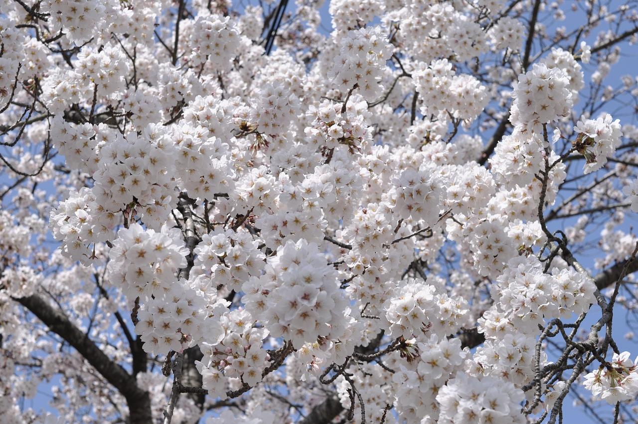 https://cdn.pixabay.com/photo/2020/04/28/21/39/cherry-blossom-5106430_1280.jpg